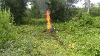 Полицейские в Уссурийске обнаружили очаг произрастания дикорастущей конопли