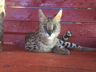 Под Уссурийском поселилась африканская кошка сервал