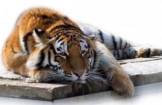 В поселке Раздольное тигр задрал собаку