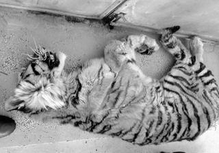 В Приморье еще один амурский тигр пострадал от браконьеров
