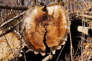 Уссурийцы хотели незаконно сбыть в Китай редкую древесину на 4 миллиона