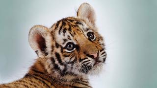 В Уссурийск доставили труп тигренка
