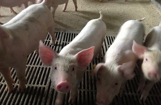 Свиноводческие хозяйства в Уссурийске возьмут на ветеринарный контроль