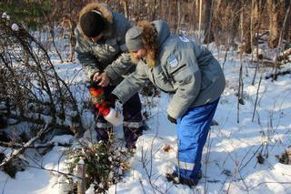 В Варваровском лесничестве провели профилактическую обработку краснокнижных тисов