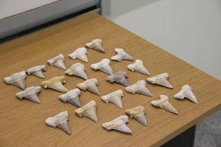Уссурийские таможенники передали зубы акулы в музей ДВФУ