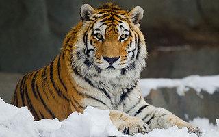 Тигрица загрызла собаку в Приморье