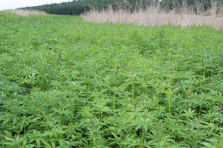 Житель Уссурийска незаконно выращивал около 500 кустов конопли