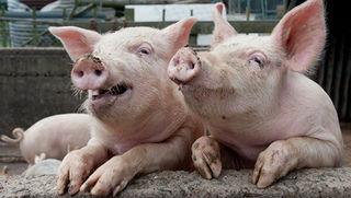 Ситуация с заболеваемостью африканской чумой свиней в УГО находится под контролем