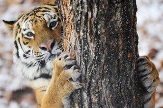 В Приморье раненый охотник оклеветал тигра