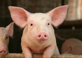 Подтвержден вирус классической чумы свиней на территории Уссурийского городского округа