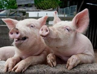 Подтвержден очаг вируса африканской чумы свиней на территории Михайловского района