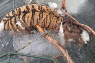 Обезглавленный труп амурского тигра доставили в Приморье из Хабаровска для экспертизы