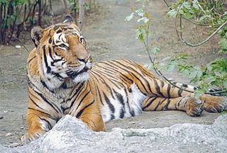 Тигры в Уссурийском заповеднике - под наблюдением спутника