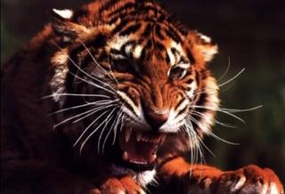 Амурский тигр напал на охотника в Приморье: мужчина получил ранения, хищник  убит