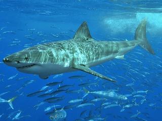 Акула откусила руки одному из отдыхающих в Приморье