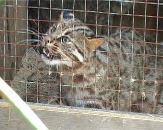 4 вида больших кошек живут в зверинце Уссурийска