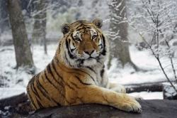 Тигры уходят вглубь тайги