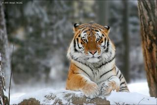 В Приморье завершен зимний мониторинг амурского тигра