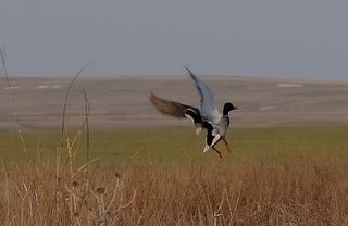 Охотничий сезон на селезней уток начинается в Приморье