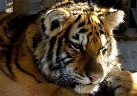Гражданка КНР пыталась вывезти из Приморья лапы тигра