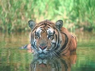 Мертвого тигра нашли в Приморье