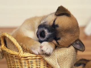 Мошенница продавала дворняг под видом чистокровных собак