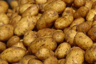 В Уссурийске появился зараженный картофель