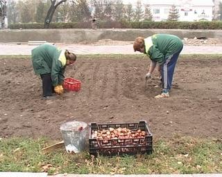 Весной на улицах Уссурийска расцветёт в два раза больше тюльпанов