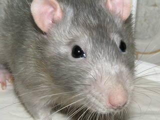 В детском саду №39 в Уссурийске завелись крысы